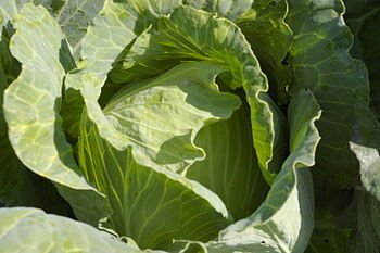 English: green cabbage