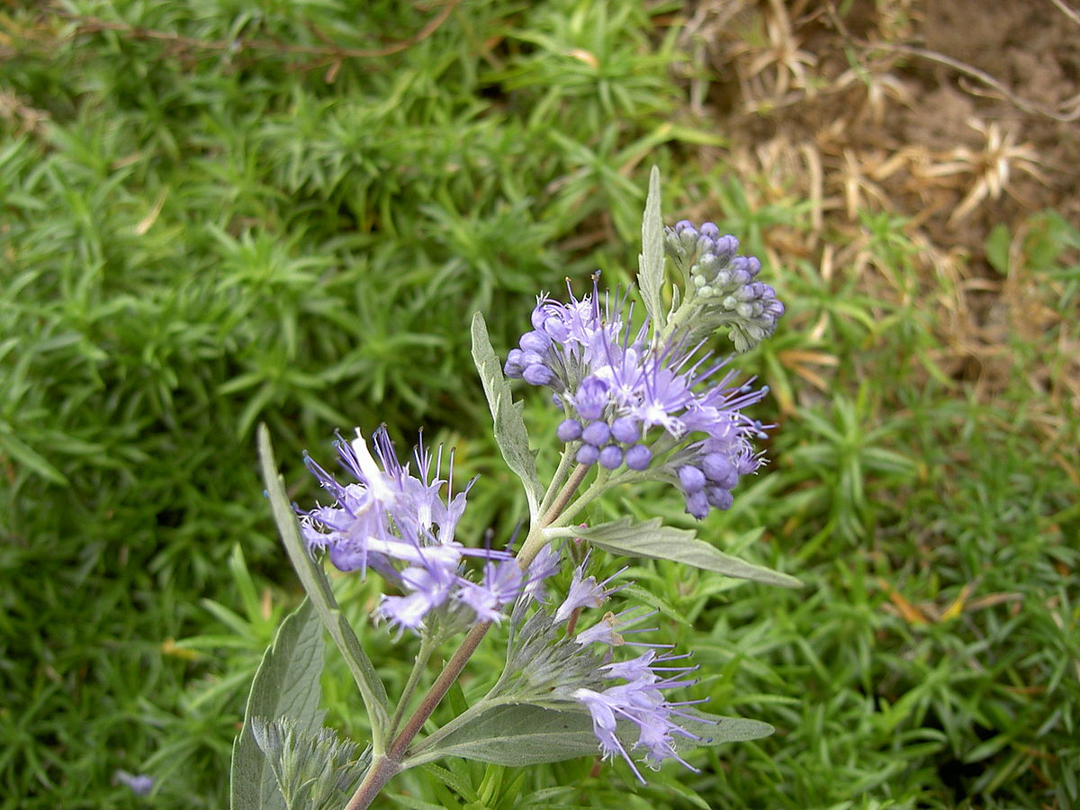 Bartblumen Wikipedia