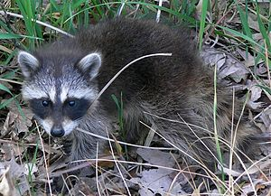 A Common Raccoon (Procyon lotor) seen near a b...