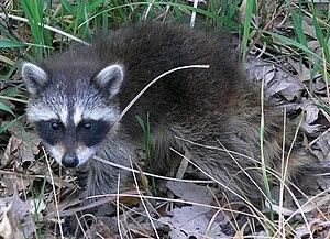 English: A Common Raccoon (Procyon lotor) seen...