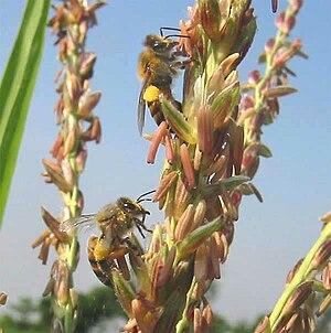 Honeybees collecting corn pollen.