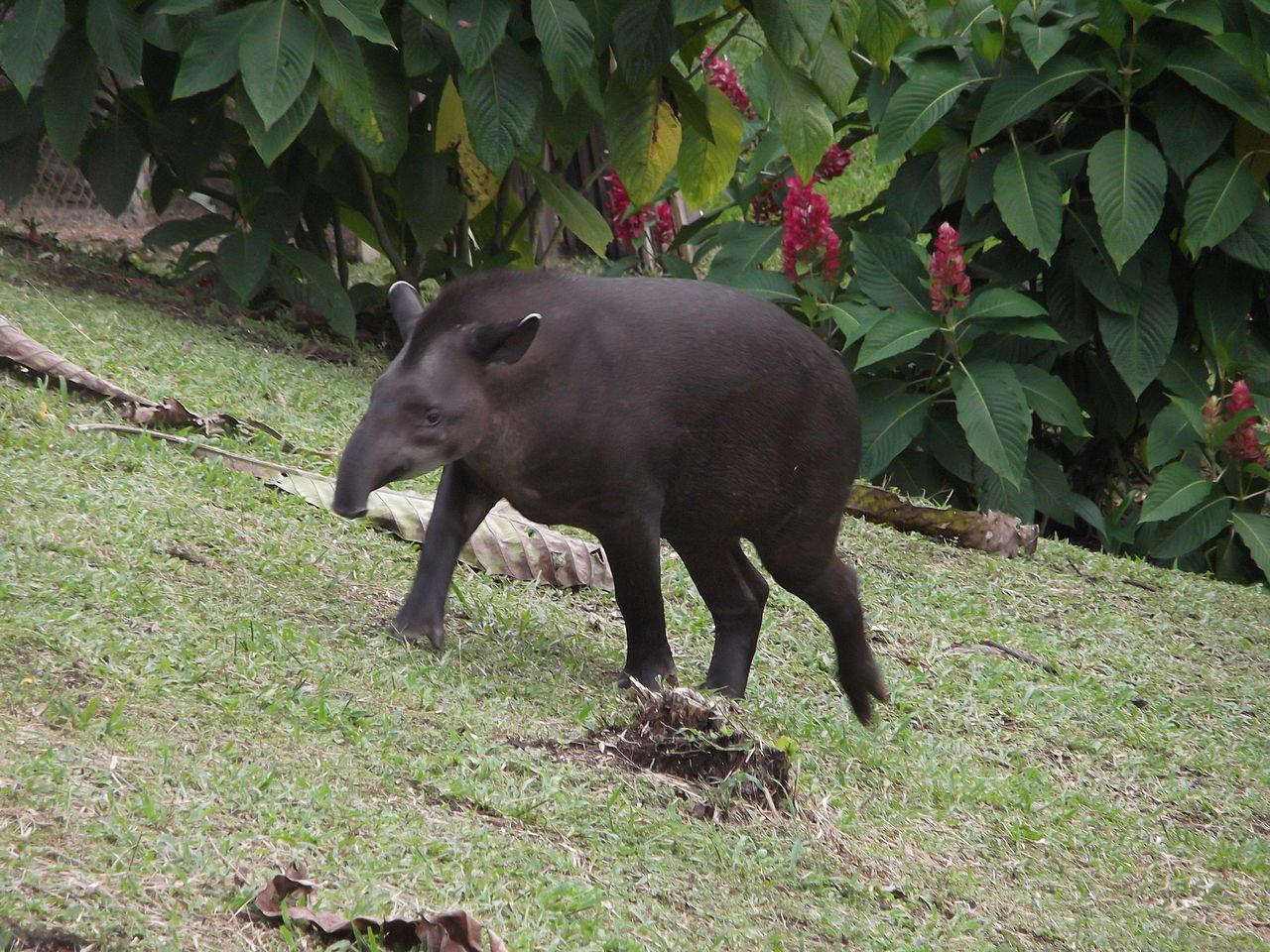 File El Tapir En El Coca Ecuador Jpg Wikimedia Commons