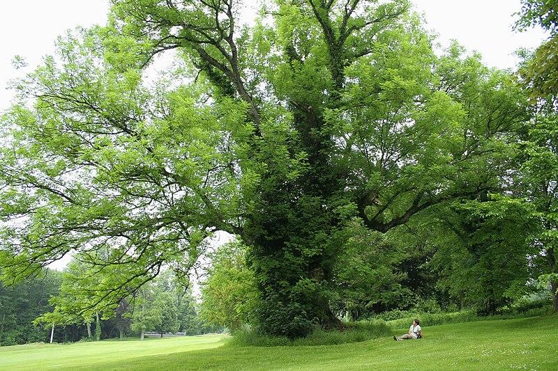 File:Fraxinus excelsior - Ardenne 1b.JPG