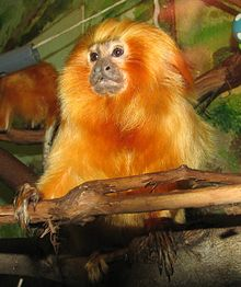 Golden Lion Tamarin 001.jpg