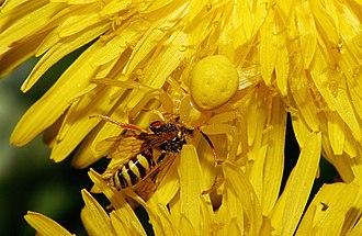 Die veränderliche Krabbenspinne auf gelber Blume