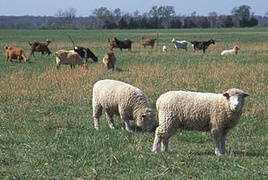 English: An image showing Ovis aries in field ...