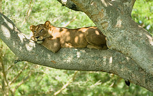 A lioness in Ishasha Southern sector of Queen ...