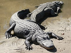 American alligators (Alligator mississippiensis)