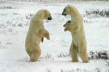 Dois ursos-polares se enfrentando. As lutas geralmente são encenadas.