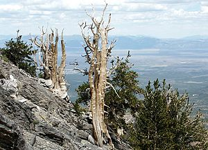 English: Bristlecone Pines on a spur ridge bel...