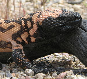 English: Head of a Gila Monster Heloderma susp...