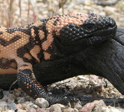 Head of a Gila Monster