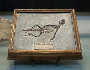 Fossil Homeosaurus maximiliani Paris, Gallerie...