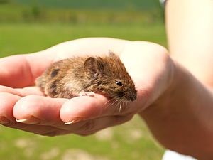 Deutsch: Es ist Eine Maus. Ich weiß nicht, welche.