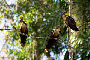 Hoatzin (also known as the Hoactzin and Stinkb...