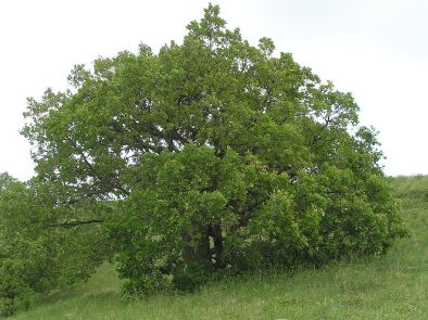 Imagini pentru stejar pufos