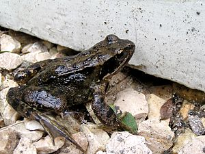 Rana temporaria (common frog)