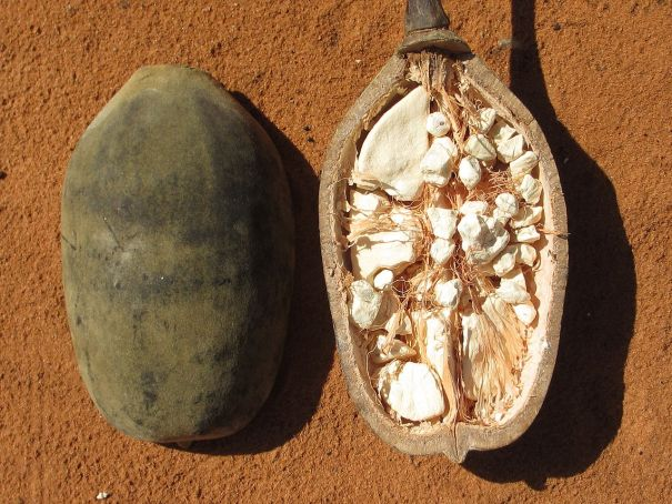 The Baobab fruit from Africa. Image from Image from https://commons.wikimedia.org