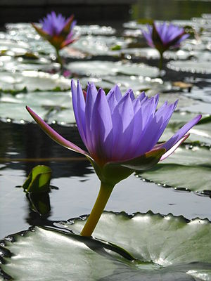English: Floating lilies, the sun light showin...
