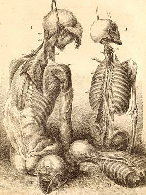 Engravings of the bones, muscles, and joints