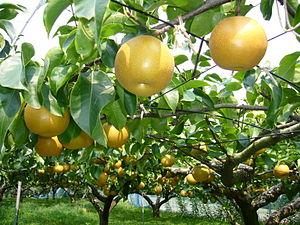 pear-tree,katori-city,japan