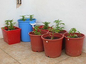 Marijuana growing in pots