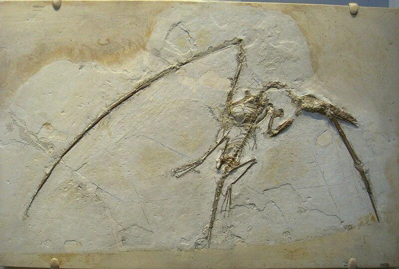 File:Rhamphorhynchus muensteri - IMG 0675.jpg