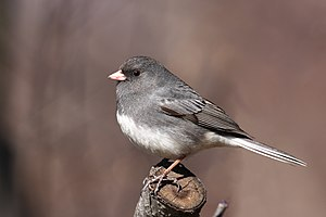 English: Dark-eyed Junco (Junco hyemalis hyema...