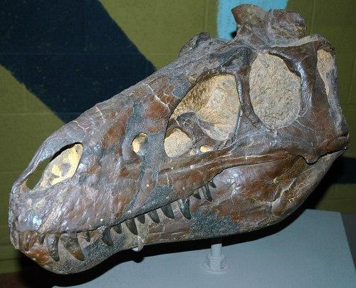 Nanotyrannus lancensis theropod dinosaur (Hell Creek Formation, Late Cretaceous; Carter County, southeastern Montana, USA) 1 (15189256937).jpg