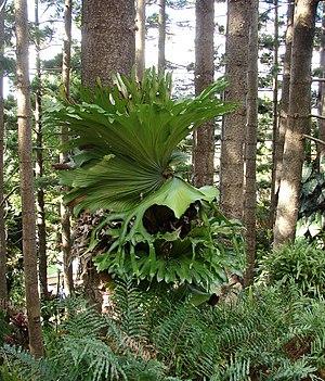 Staghorn Fern Platycerium superbum, growing on...