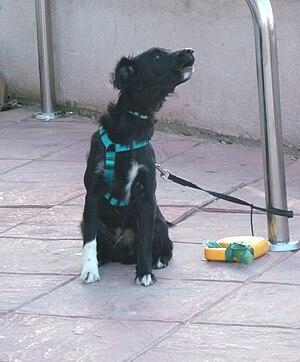 English: A dog howling in Madrid (Spain). Espa...