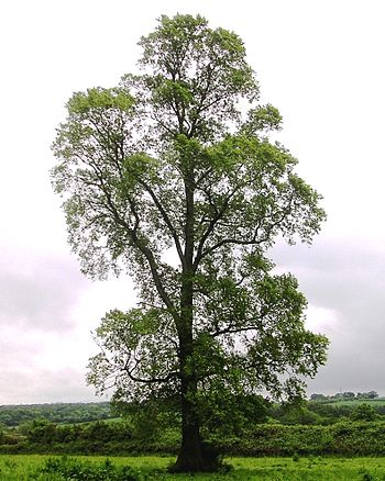 English: Photo of Ulmus minor subsp. minor at ...