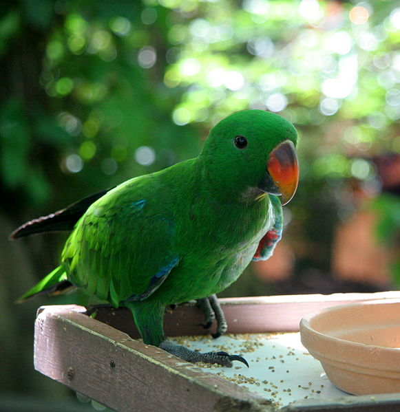 File:Eclectus Parrot (Eclectus roratus) -male.jpg