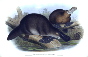 Platypus: illustration from John Gould's The m...