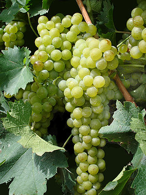 Wine grapes grown in New Mexico.