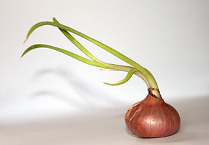 A growing onion Allium cepa in a neutral backg...