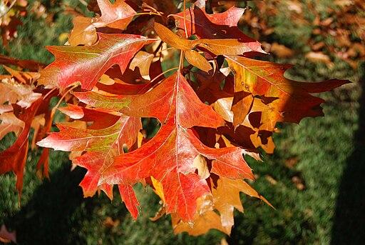 https://i2.wp.com/upload.wikimedia.org/wikipedia/commons/thumb/d/d2/Pin_Oak_Leaves.jpg/512px-Pin_Oak_Leaves.jpg