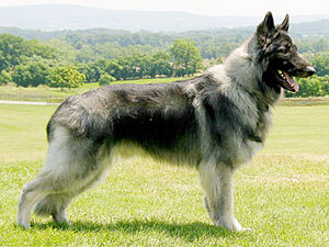 Plush Coat Shiloh Shepherd Dog