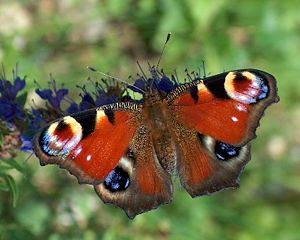 A Peacock butterfly (Inachis io). Français : U...