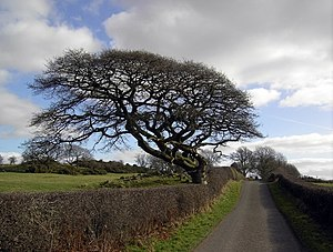 English: Wind Beaten Tree, near to Palnackie, ...