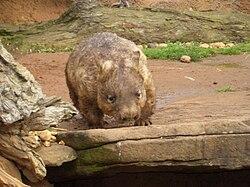 Wombat di Kebun binatang Melbourne.