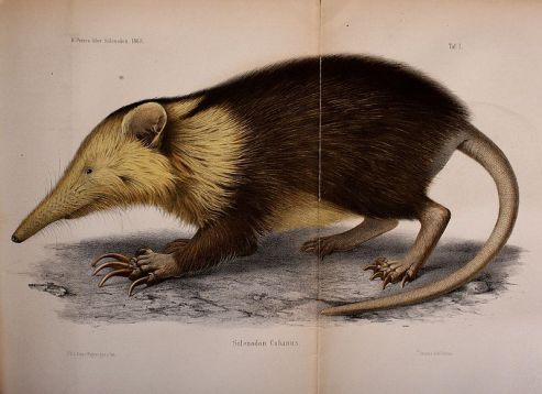 Ilustrasi solenodon Kuba