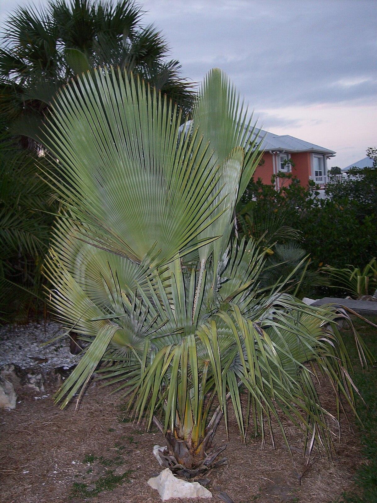Black Tall Palm Tree Fruit