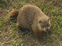 The groundhog (Marmota monax) is a rodent of t...