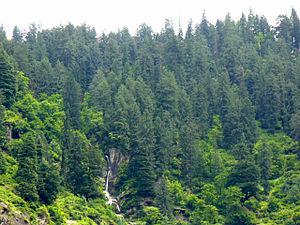 Picea smithiana forest. Around Vashist, Himach...