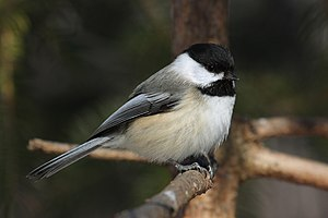 English: Black-capped Chickadee (Poecile atric...