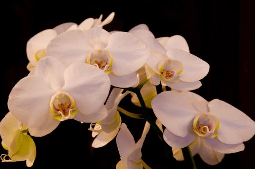 Phalaenopsis amabilis Photography critiques 19-01-2010 8-02-02