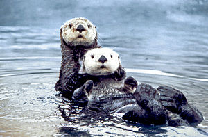 Two sea otters in the Olympic Coast National M...