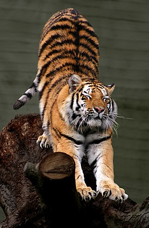 Dansk: Sibirisk tiger (Panthera tigris altaica...