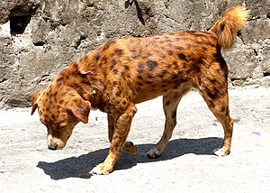 A spotted dog from Kalimpong, West Bengal, India.